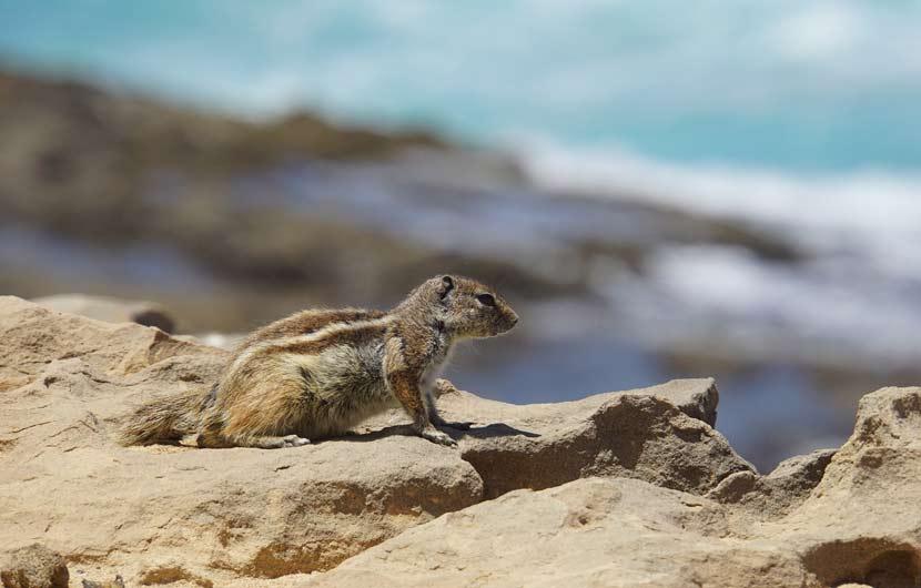 Chipmunks Fuerteventura