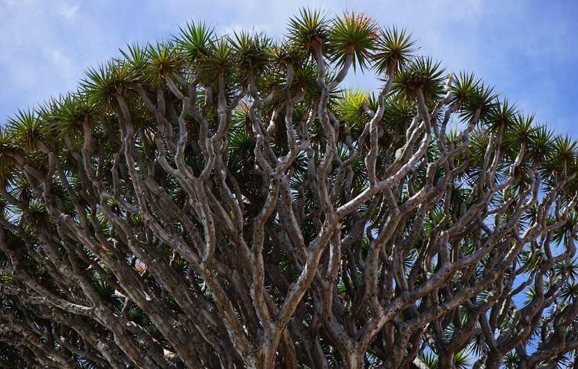 Drago Tree Tenerife
